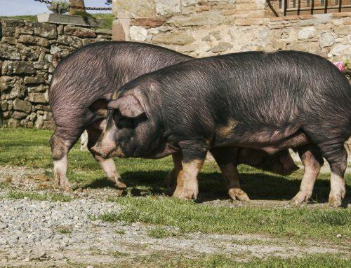 Porc Ral d'Avinyó